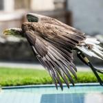 Europäischer Seeadler